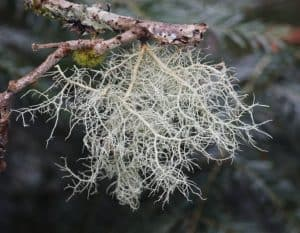 Usnea, fot. Wikipedia Wikimedia Commons, CC-BY-SA 3.0