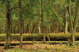 Rezerwat Cisów we Wierzchlesie - fot. Bogdan Nitka